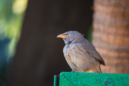Female Indian Blackbird seen at Lodi Gardens in New Delhi, India. Stock Photo