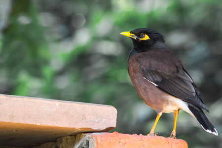 common myna bird: Common Myna or Indian Myna seen at Lodi Gardens in New Delhi, India. Stock Photo