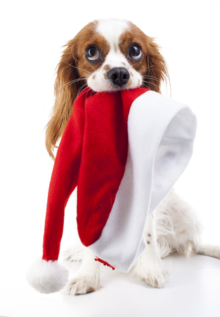 Dog with Santa Hat. Christmas dog in studio. White king charles spaniel dog. Christmas time. Santa hat with dog.
