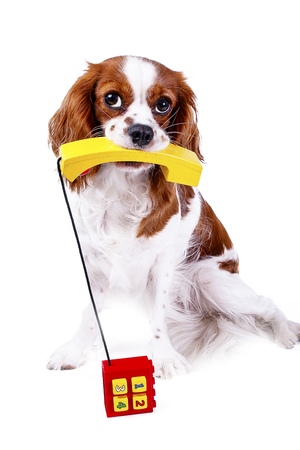 Cute dog photo for animal services. Dog with phone telephone for contact form in pet business or any other concept. Cavalier king charles spaniel dog puppy in white studio background. Contact form telephone number.