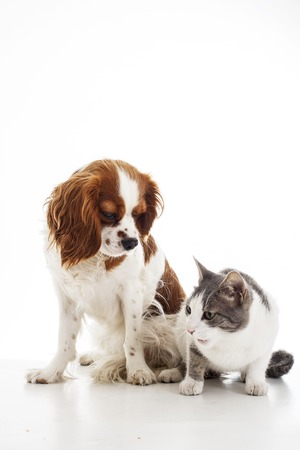 Animal pet friends. Cat and dog friends. Puppy and kitten together on white isolated studio background,