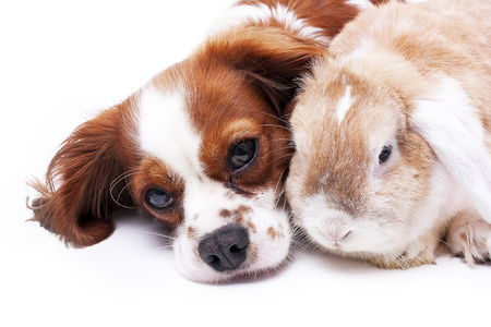 dwarf christmas: Dog and rabbit together. Animal friends. Sibling rivalry rabbit bunny pet white fox rex satin real live lop widder nhd german dwarf dutch with cavalier king charles spaniel dog. Christmas animals.