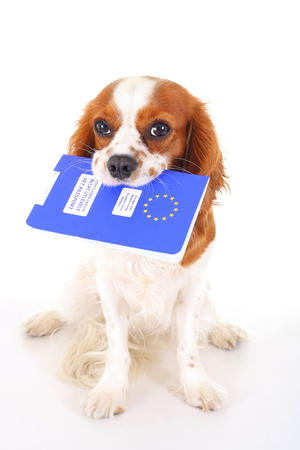 charles: Dog with pet passport immigrating or ready for a vacation. King Charles spaniel carry animal id passport. Dog passport concept isolated on white background. Cavalier spaniel studio photo illustration.