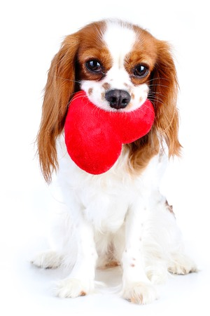 Dog with heart. Cavalier king charles spaniel valentine s day illustration. Plush red heart with spaniel puppy. Happy valentines day Valentines day dog concept. Blenheim cavalier puppy in studio.