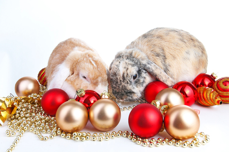 lop lop rabbit white: Christmas animals. Rabbit and christmas ball ornaments christmas bauble. Rabbits lop eared bunnies christmas photo. Bunny on white background. Stock Photo