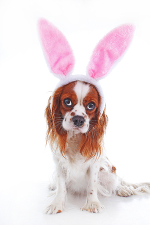 lop lop rabbit white: Cute funny dog photo. Cavalier king charles spaniel puppy dog on isolated white studio background. Funny puppy. Stock Photo