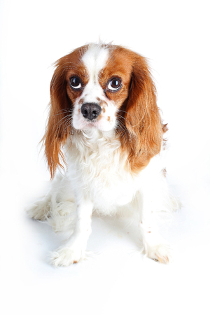 artsy: Beautiful friendly cavalier king charles spaniel dog. Purebred canine trained dog puppy. Blenheim spaniel dog puppy on isolated white background. Stock Photo