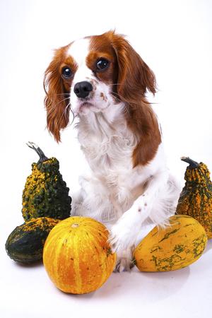 Most Inspiring Cavalier Canine Adorable Dog - 90136509-beautiful-friendly-cavalier-king-charles-spaniel-dog-purebred-canine-trained-dog-puppy-blenheim-span  Gallery_201417  .jpg?ver\u003d6