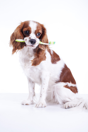 Dog with toothbrush. Beautiful friendly cavalier king charles spaniel dog. Purebred canine trained dog puppy. Blenheim spaniel dog puppy