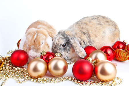 Lop and rabbit together. Animal friends. Sibling rivalry rabbit bunny pet white fox rex satin real live lop widder nhd german dwarf dutch lop bunny bunnies. Christmas animals. Christmas pets.