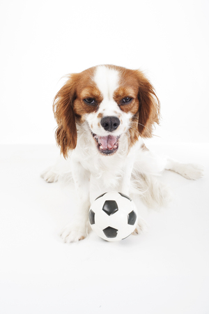 Fantastic King Charles Canine Adorable Dog - 90147264-a-dog-with-the-toy-ball-cavalier-king-charles-spaniel-dog-puppy-with-toy-soccer-ball-soft-little-foo  Pictures_733932  .jpg?ver\u003d6