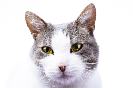 Cat HD wallpaper cover background. Domestic beautiful stunning cat on isolated white studio photo. Cat with beautiful eyes. Yellow eye color. Stock Photo