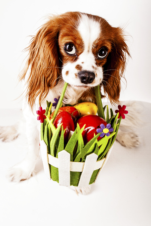 Happy easter. Easter dog concept. King charles spaniel holding easter egg basket with red and colorful eggs. Stock Photo