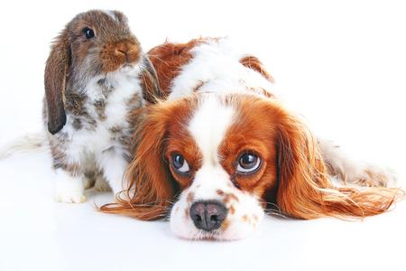 犬とウサギを一緒に。動物のお友達。ウサギのウサギ ペット ホワイト フォックス レックス サテン本物垂れウィダー nhd キャバリア キング ・ チャ