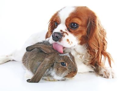 Hond en konijn samen. Dierenvrienden. Rabbit bunny huisdier witte vos rex satijn echte live lop widder nhd dwerg nederlands met cavalier king charles spaniel hond. Kerst dieren Valentijnsdag huisdier concept