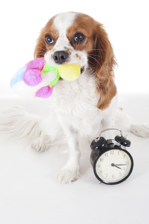 Cute cavalier king charles spaniel dog puppy on isolated white studio background. Dog puppy with sof toy. Play time. Stock Photo