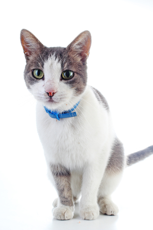 Domestic cat with collar on isolated white background. Cat wanting food. Trained cat. Animal mammal pet. Beautiful grey white cat young kitten on isolated white studio photo background. Cat with beautiful eyes.