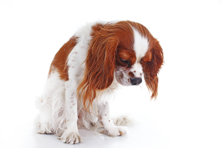 Cute sad dogcavalier king charles spaniel dog puppy on isolated white studio background. Dog puppy with sad face. Фото со стока