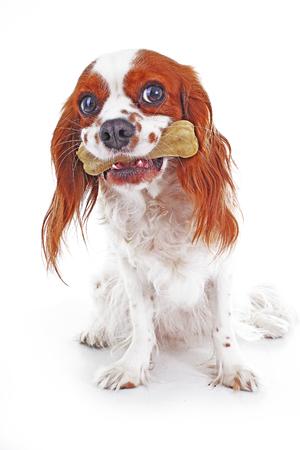 Dog with bone treats. Cute cavalier king charles spaniel dog on isolated white background. Dog snack photo.