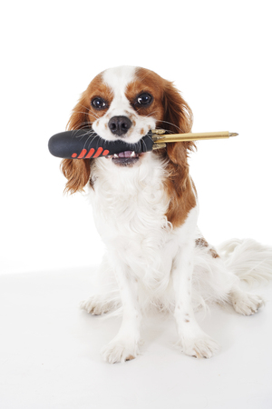 Screwdriver with Cavalier king charles spaniel dog photo. Beautiful cute cavalier puppy dog on isolated white studio background. Trained pet photos for every concept.