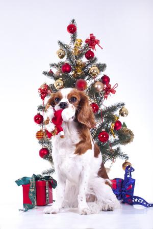 Dog with christmas tree. animal pet cute christmas photo. Studio photo with cute puppy dog near the christmas tree. Stock Photo