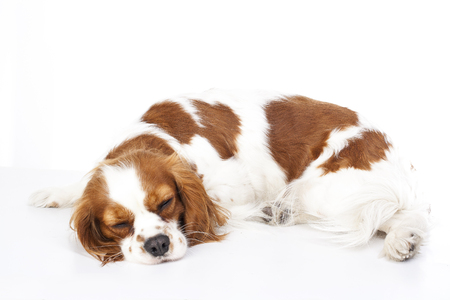 Sleeping dog. Dog sleeping in studio. White background. cavalier king charles spaniel sleep.