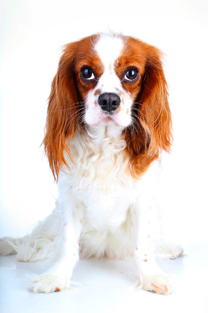 Dog on white background. Cavalier king charles spaniel dog photo. Beautiful cute cavalier puppy dog on isolated white studio background. Trained pet photos for every concept.