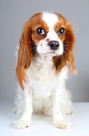 Scared dog. Cute abandoned scared guity face cavalier king charles spaniel dog pet animal photo. Scared dog puppy on white isolated studio background.