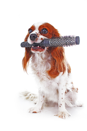 Dog with brush-. Cavalier king charles spaniel dog photo. Beautiful cute cavalier puppy dog on isolated white studio background. Trained pet photos for every concept. Imagens