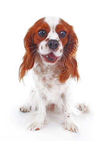 Loud dog. Cute dog yelp yal bark.. Cute barking dog photo.