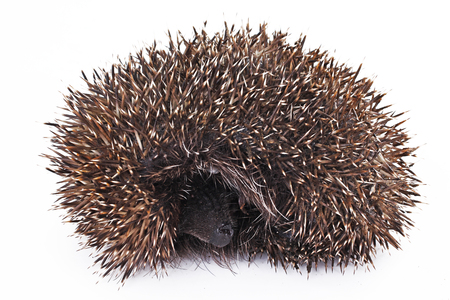 Hedgehog on isolated white studio background. Closeup photo. Clipping path. Easy to use. White background. Cutout cut out. Stock Photo