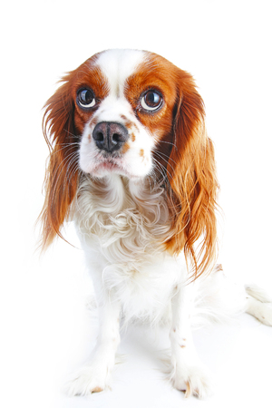 Guilty face. Dog with guilty face on isolated white studio background.
