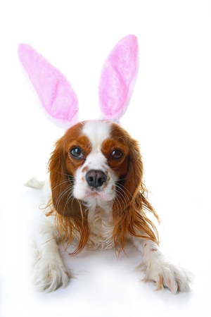 Cute easter bunny dog with rabbit ears. Happy Easter Holiday Cavalier king charles spaniel dog studio photos. Easter dog on isolated white cut out.