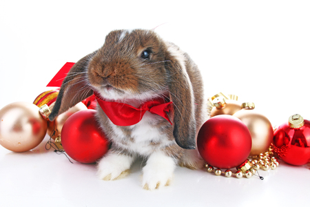 Christmas animals. Cute christmas rabbit. Rabbit bunny lop celebrate christmas with xmas bauble ornaments on isolated white studio background. Christmas pet animal photo. Reklamní fotografie