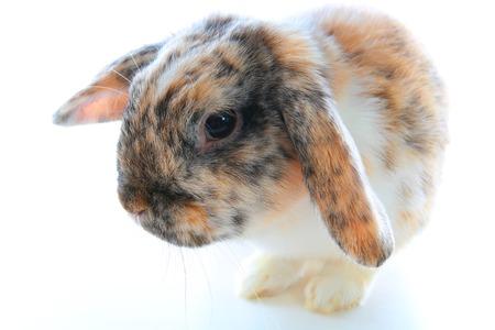 Rare rabbit color. Orange black white dwarf lop widder bunny with special tricolor pattern. Rabbit patterns. Orange fox rex tricolor black white broken tricolor tiger pattern. Harlequin japanese lop.