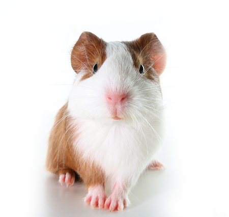 Cute little dutch guinea pig on studio white background.