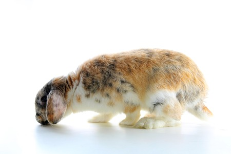 Rare rabbit color. Orange black white dwarf lop widder bunny with special tricolor pattern. Rabbit patterns. Orange fox rex tricolor black white broken tricolor tiger pattern. Harlequin japanese lop. Cute. Stock fotó