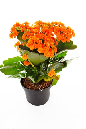 Little orange flowers of rubiaceae tree. Orange flower plant. Cluster flowers ixora. Stock Photo - 93603776