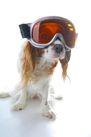 Skiing ski eyewear glasses on dog. Cavalier king charles spaniel on isolated white studio background.Cavalier king charles spaniel on isolated white studio background.. Stock Photo