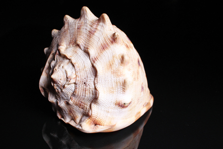 Sea snail shell. Big sea Snail shell on black reflective studio background. Isolated black shiny mirror mirrored background for every concept. Snail shell.