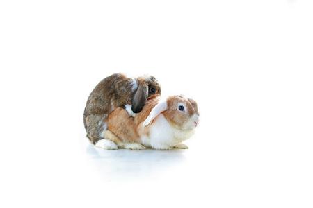 Rabbit mating. Mini Lop Ear rabbits mating on white background. Rabbit breeding. Studio photo. Animal pet mammal bunny dutch widder dwarf rabbits breeding.