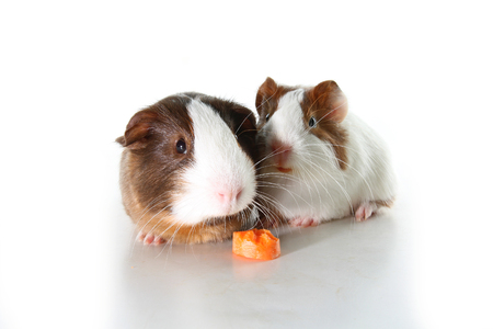 Guinea pigs on studio white background. Isolated white pet photo. Sheltie peruvian pigs with symmetric pattern. Domestic guinea pig Cavia porcellus or cavy Stock Photo