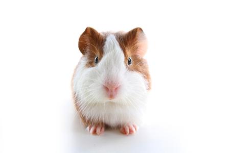 Cochon d'Inde sur fond blanc studio. Photo d'animal de compagnie blanche isolée. Porcs péruviens Sheltie avec motif symétrique. Cochon d'Inde domestique Cavia porcellus ou cavy Banque d'images - 94186743