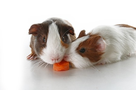 Guinea pigs on studio white background. Isolated white pet photo. Sheltie peruvian pigs with symmetric pattern. Domestic guinea pig Cavia porcellus or cavy Banque d'images