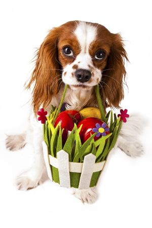 Easter eggs in basket with easter dog. Happy easter. Cavalier king charles spaniel holding easter egg basket on isolated white background. Stock Photo