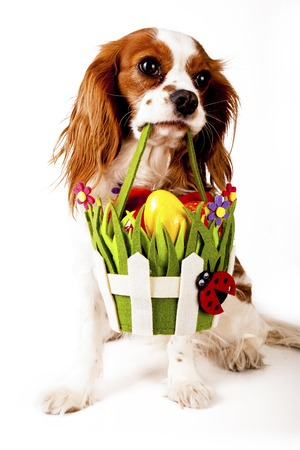 Easter eggs in basket with easter dog. Happy easter. Cavalier king charles spaniel holding easter egg basket on isolated white background. Stok Fotoğraf