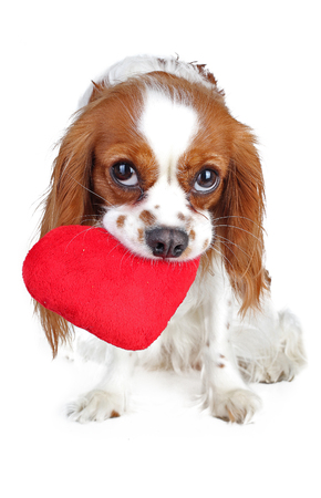 Valentines day photo. Dog with hear. Puppy with plush sof heart. Valentines day spaniel. Puppy love. Cute king charles for every concept. Stock Photo