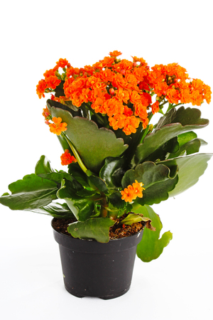 Little orange flowers of rubiaceae tree. Orange flower plant. Cluster flowers ixora.. Stock Photo - 94996275