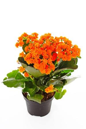 Little orange flowers of rubiaceae tree. Orange flower plant. Cluster flowers ixora..