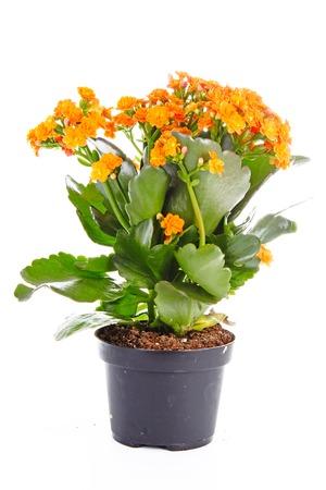 Little orange flowers of rubiaceae tree. Orange flower plant. Cluster flowers ixora.. Stock Photo - 94919042